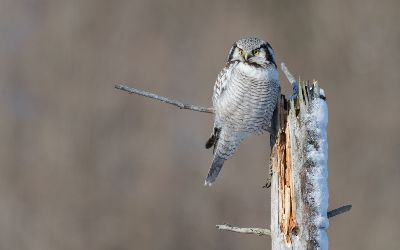 Hawk Owl 3, Ropstad  Bard , Norway