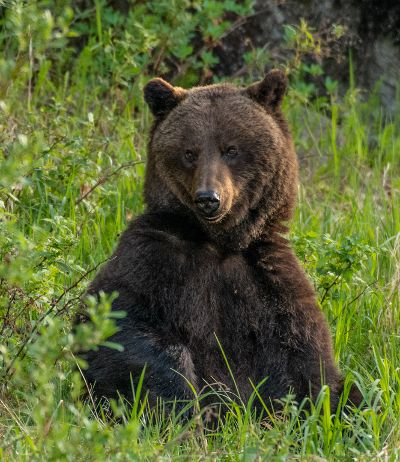 Sow Grizzly Bear Sitting 2, Weisenberg  Neal , Canada