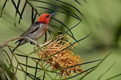 Scarlet Honeyeater, English  Dianne , Australia