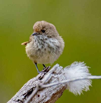 Brown Thornbill, Crowhurst  Graham , Australia