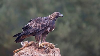 Golden Eagle 2307, Bramham  Gordon , England