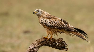 Red Kite 2716, Bramham  Gordon , England