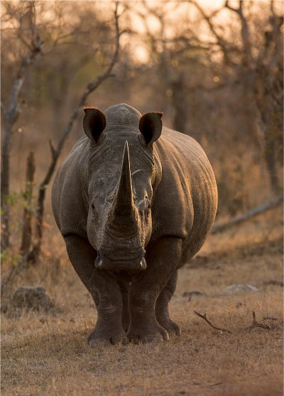 Rhino, Marais  Koos , South Africa
