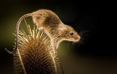 Harvest Mouse, Cowsill  David , England