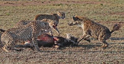 Cheetahs Lost Here Kill, Kaeding  Wolfgang , Germany