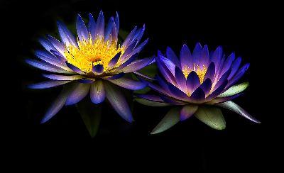 Water Lilies, Lea  Cora , Australia