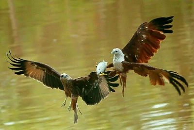 Kites Fighting For A Fish, Gujjarappa  Prabhakar , India