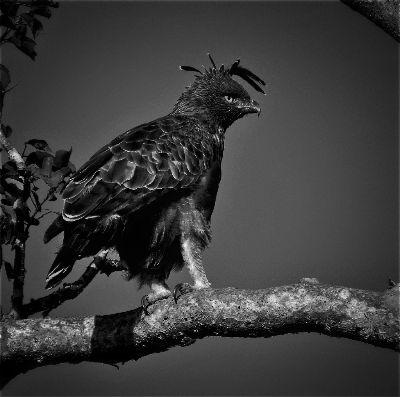 Killer Gaze.. Crested Hawk Eagle, Raj M  Hemanth , India