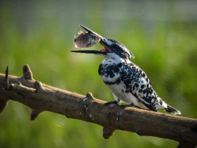 .Pied Kingfisher With Catch, Raj M  Hemanth , India