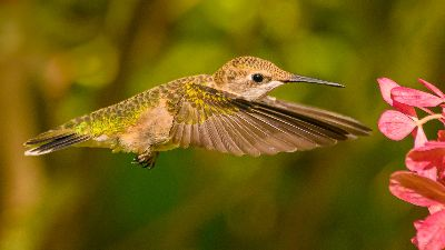 0931 Ruby Throated Hummingbird, Perez  David , Usa