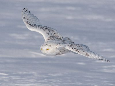 2262 Snowy Owl In Flight, Perez  David , Usa
