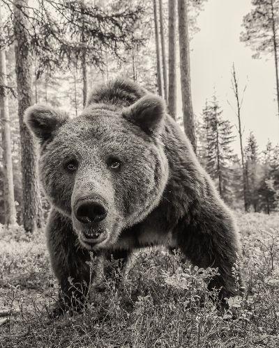 Grizzly Bear 24-mono, Arkhipov  Dmitry , Russian Federation