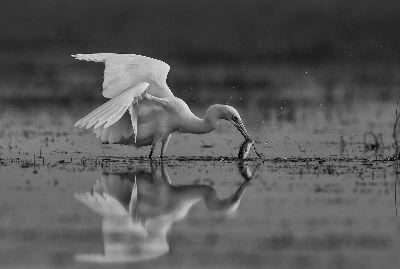 Egret Catches Fish, Shanbhag  Pramod Govind , India