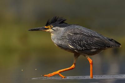 Greenbacked Heron, Bosman  Eric , South Africa