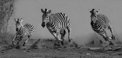Zebras On The Run, Bosman  Eric , South Africa