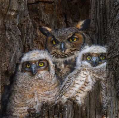 Curious Owl Family, Bodkin  Diane , Usa