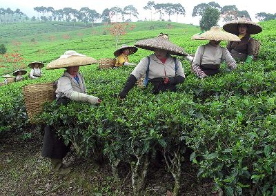 The Tea Pickers Of Indonesia, Bray  Michael , Wales