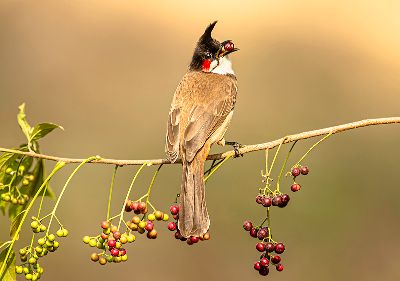 LOOK OF A RED WHISKERED BULBUL, Bandyopadhyay  Sandipan , India