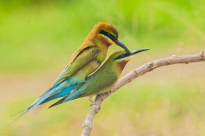 3 Bee Eater Matting, Bhajanehatti  Sudhir , India