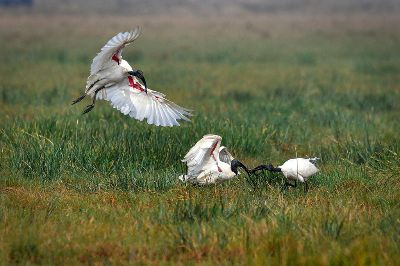 FIGHT OF IBIS, Jana  Dipankar , India