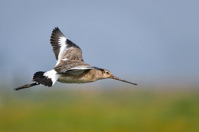 FLIGHT OF GODWIT, Jana  Dipankar , India