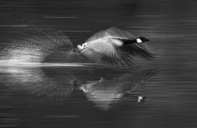 Goose Taking Off, Luo  Robin , Canada
