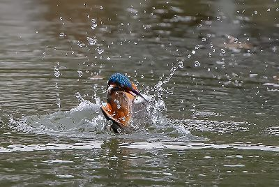 Kingfisher Caught Fish 3, Luo  Robin , Canada