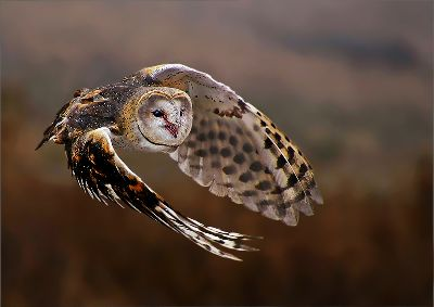 Owl In Flight, Pelser  Leon , South Africa