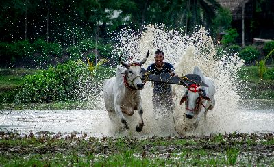 CATTLE RACE 02, Roy  Manasi , India