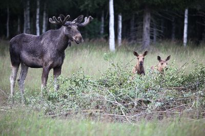 Moose No4, Stake  Jan-thomas , Sweden