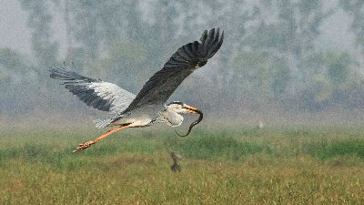 Gray Heron And Snake 77751, Roy  Prabir Kumar , India