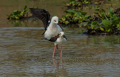 Mating Stilt 7906, Roy  Prabir Kumar , India