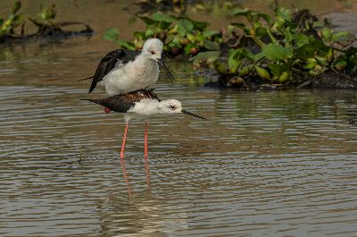 Mating Stilt 79001, Roy  Prabir Kumar , India