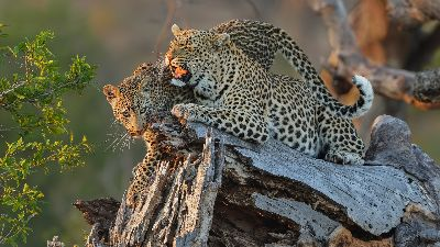 Leopard Mom Trunk, Kruger  Willem , South Africa