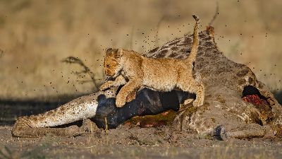 Lion Cub Flees, Kruger  Willem , South Africa
