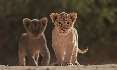 Lion Cub Twins, Kruger  Willem , South Africa