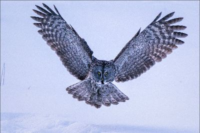Great Gray Owl 52, Kwan  Phillip , Canada