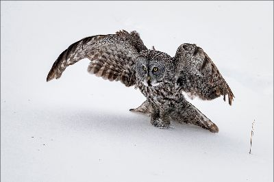 Great Gray Owl 68, Kwan  Phillip , Canada
