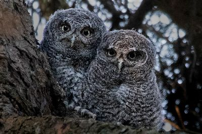 Two Baby Owls, Lam  Nancy Yok Sim , Canada
