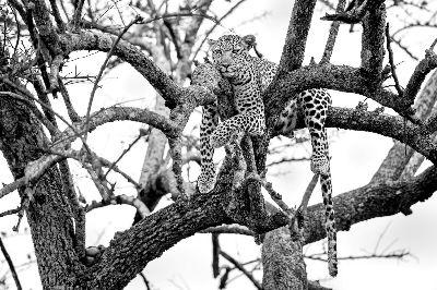 Leopard On Tree, Mane  Chethan Rao , India