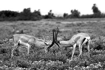 Horns Locked, Mane  Chethan Rao , India