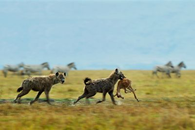 Hyena With Kill, Mane  Chethan Rao , India