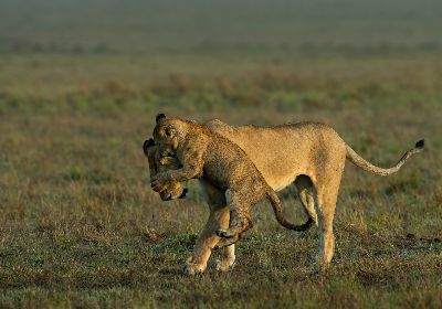 Lion With Cub, Mane  Chethan Rao , India