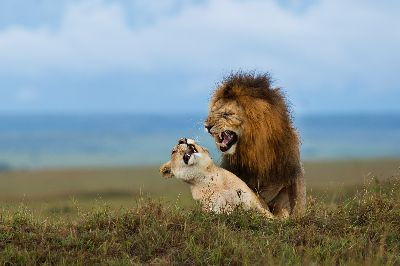 Lion Mating, Mane  Chethan Rao , India