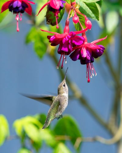 Hummingbird55, Long  Fengying , China