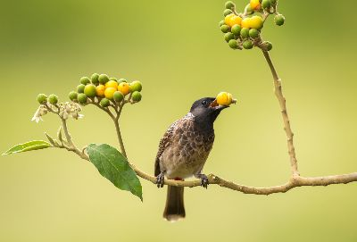RV Bulbul Yellow Berry, Mysore  Anitha , India