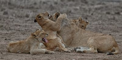 Quality Time With Momma Lioness, Webster  Jennifer  Margaret , England