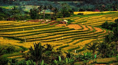 Rice Terraces, Gooley  Terry , Australia