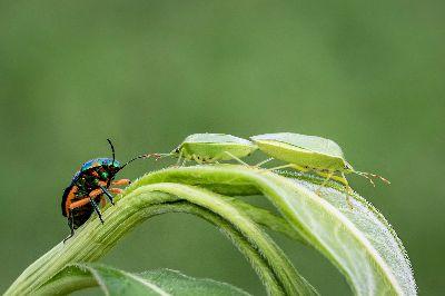 Green Bugs 13, Abbott  John , Australia