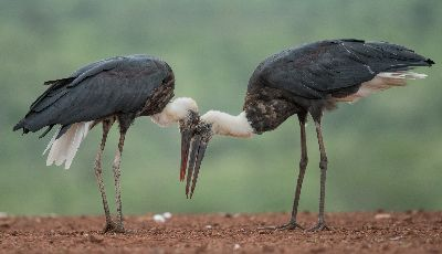 Storks Bonding, Killen  Roy , Australia
